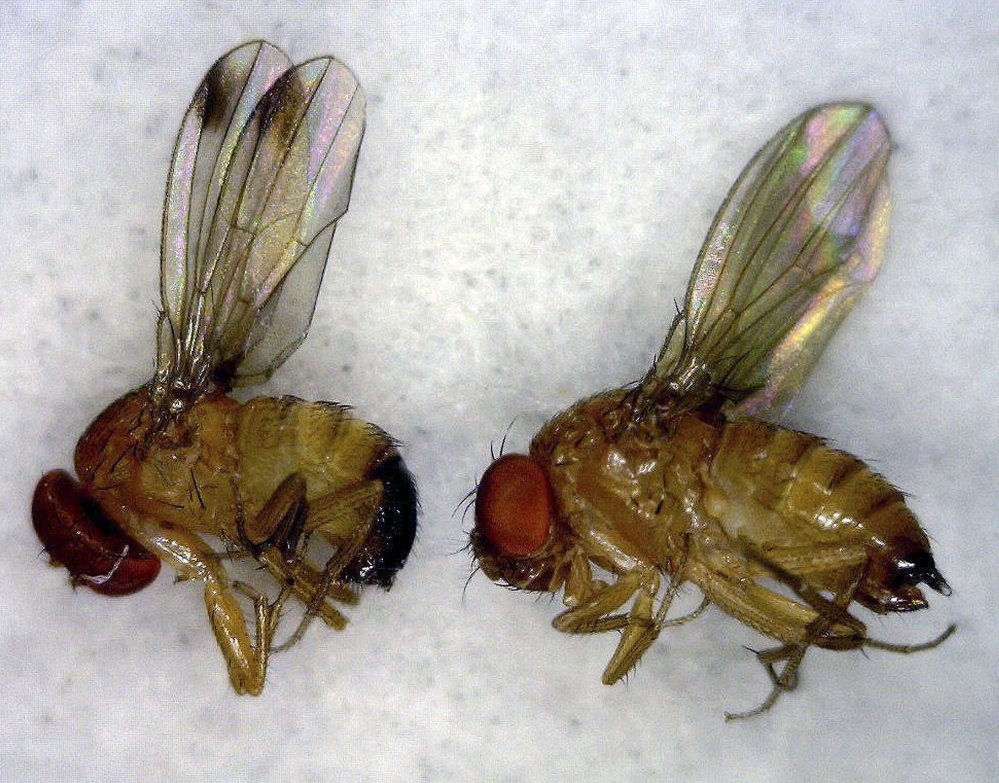 how to combat fruit fly