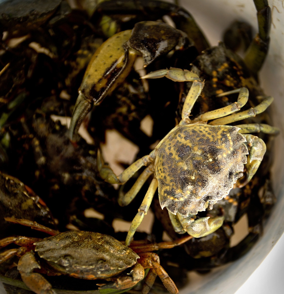 Green crabs sit in a bucket after being hauled in on the Harraseeket River in Freeport. The invasive species preys on bivalves such as softshell clams, which are Maine's third most lucrative fishery.
