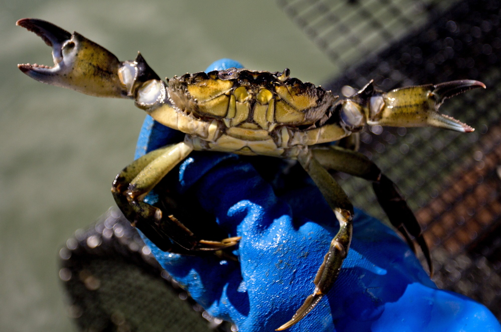 Commercial fishermen no longer need a special license to harvest and sell green crabs and lobstermen can keep them as bycatch.