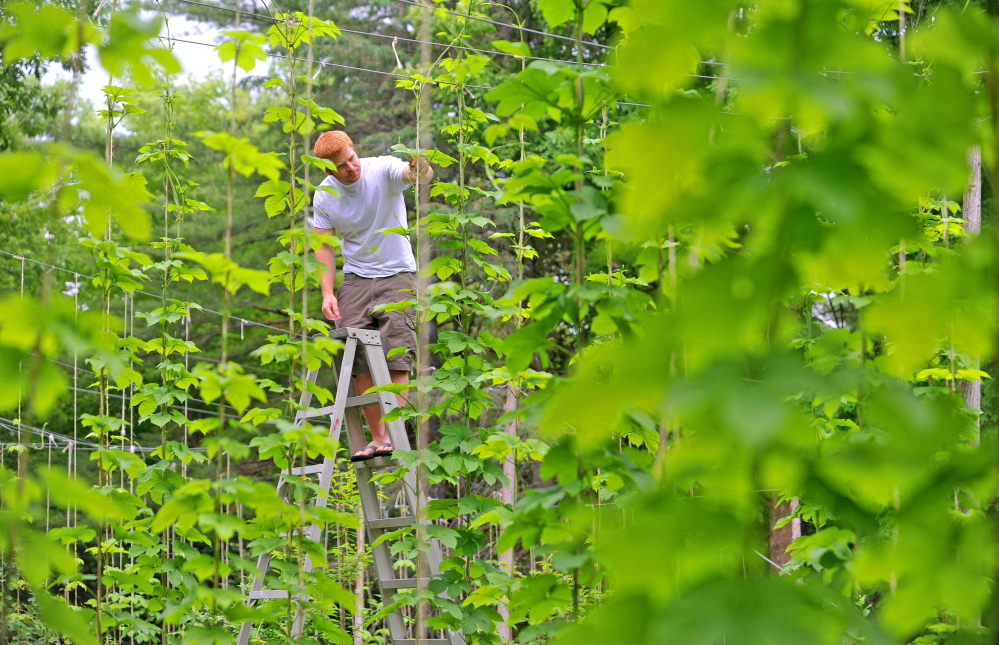 Russell Prime, owner of Prime Hops, stands among his Chinook variety hops at his farm in Bnton. Prime, a home brewer and employee of Johnny Select Seeds, is in his third year of growing hops in Maine. Staff photo by Michael G. Seamans/Morning Sentinel