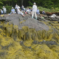 Rock weed is Maine's most common variety of seaweed and its uses can be many, the Kennebec Estuary Land Trust instructors emphasize during a recent seminar in West Bath.