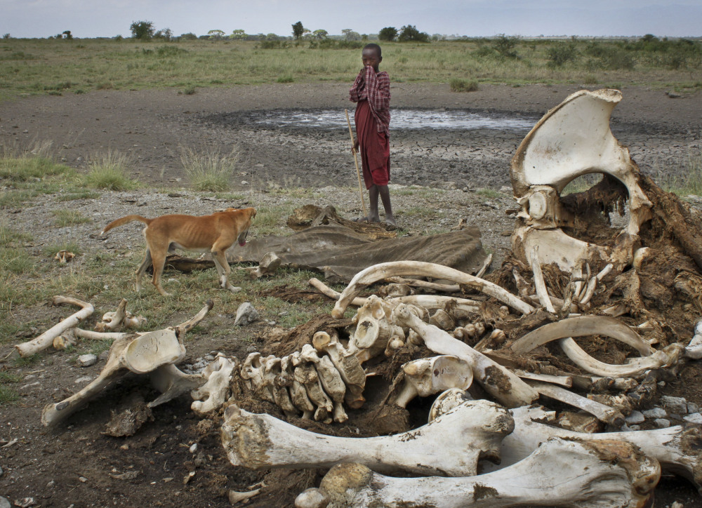 A Maasai youth and his dog stand near the skeleton of an African elephant killed by poachers outside of Arusha, Tanzania. A new study revealed a dramatic increase in the number of elephants being killed illegally in the last several years.
