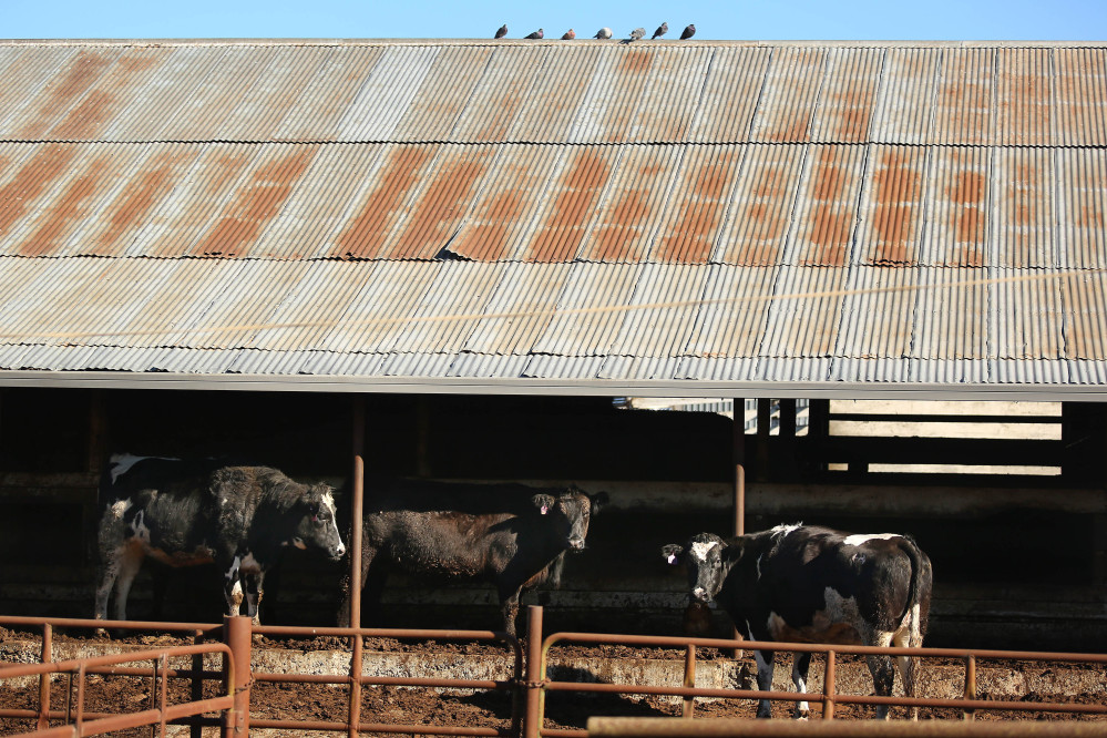 In this Jan. 13 photo, cows are shown at the Rancho Veal slaughterhouse in Petaluma, Calif. A federal grand jury has indicted four officials of the company at the center of a massive beef recall, alleging they slaughtered cows with cancer while inspectors were on their lunch breaks.