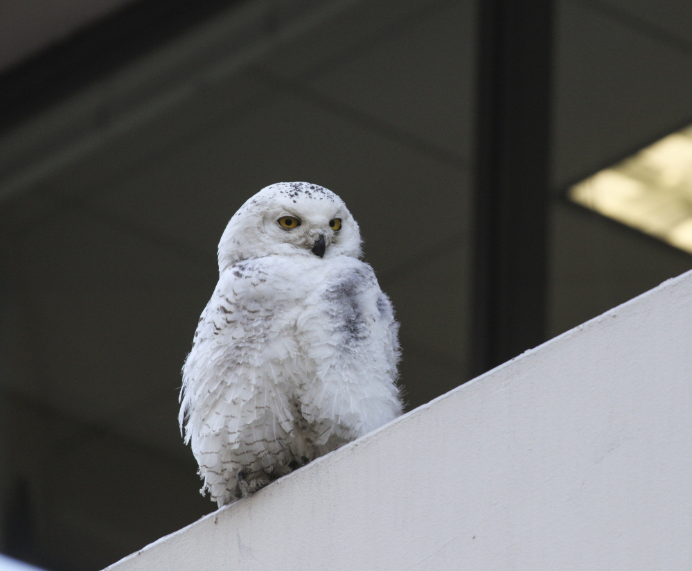 A snowy owl perches outside The Washington Post headquarters in Washington in January.