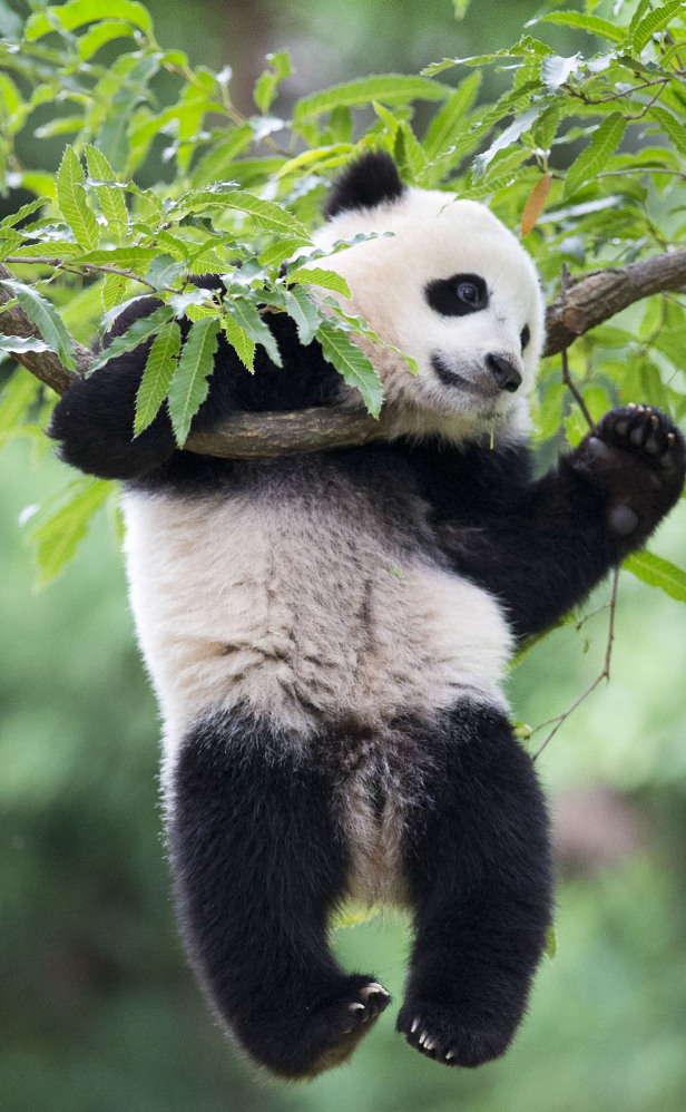 Panda cub Bao Bao has already defied the odds by reaching her first birthday, and many more are expected.