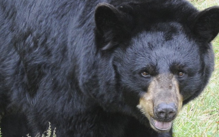 Maine's bear hunt starts Monday.