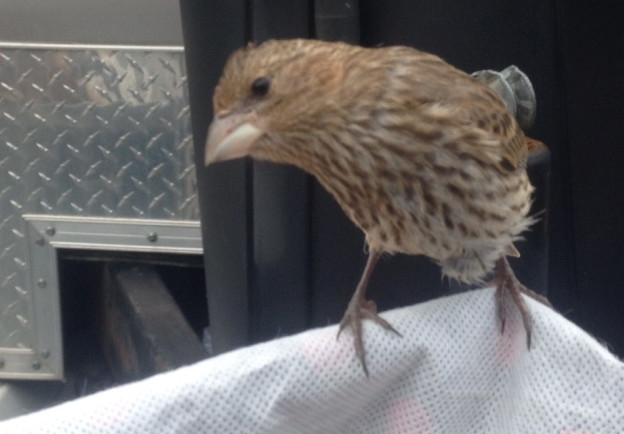 Millard – or is it Millie? – still had fragments of eggshell on its head when it first appeared to workers at a Habitat for Humanity construction site in Freeport on Aug. 15. According to a Habitat spokeswoman, the fledgling is named after the organization's founder, Millard Fuller.