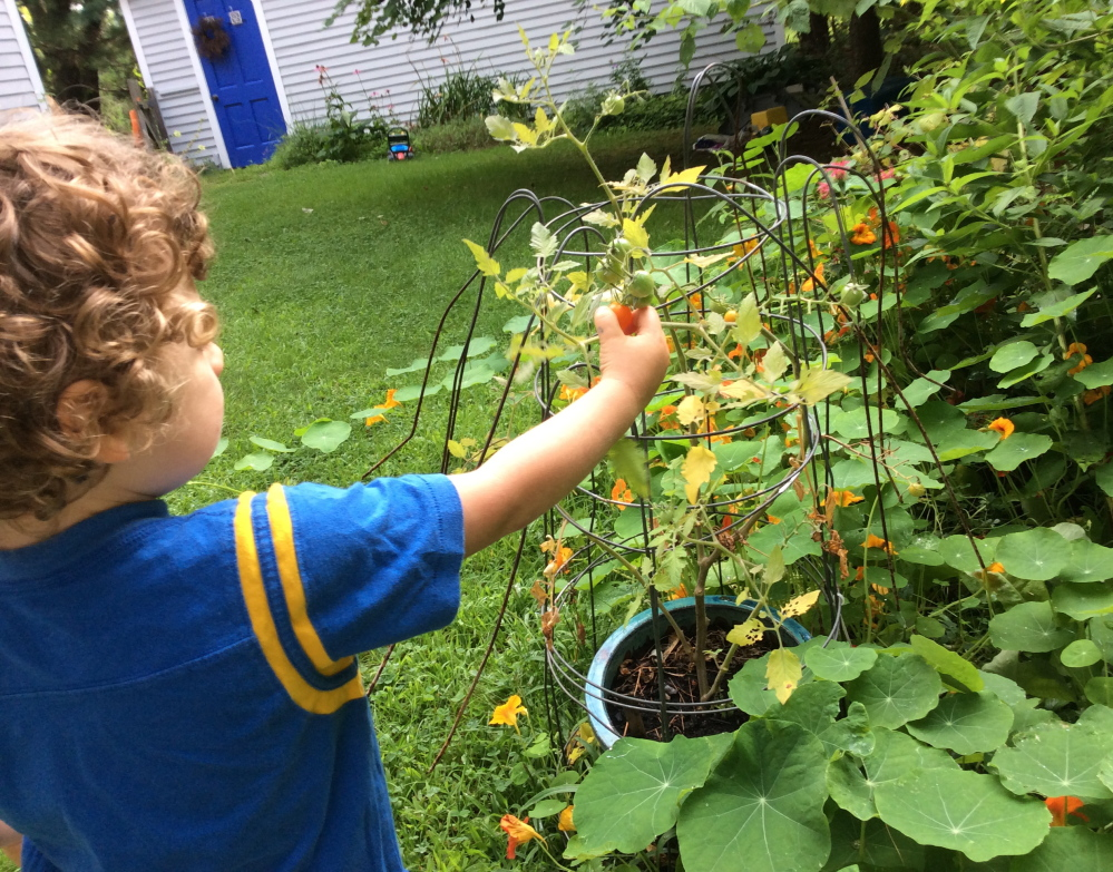 Plucking a sweet, sun-warmed tomato from the vine is a big part of the fruit's appeal to a 3-year-old boy.
