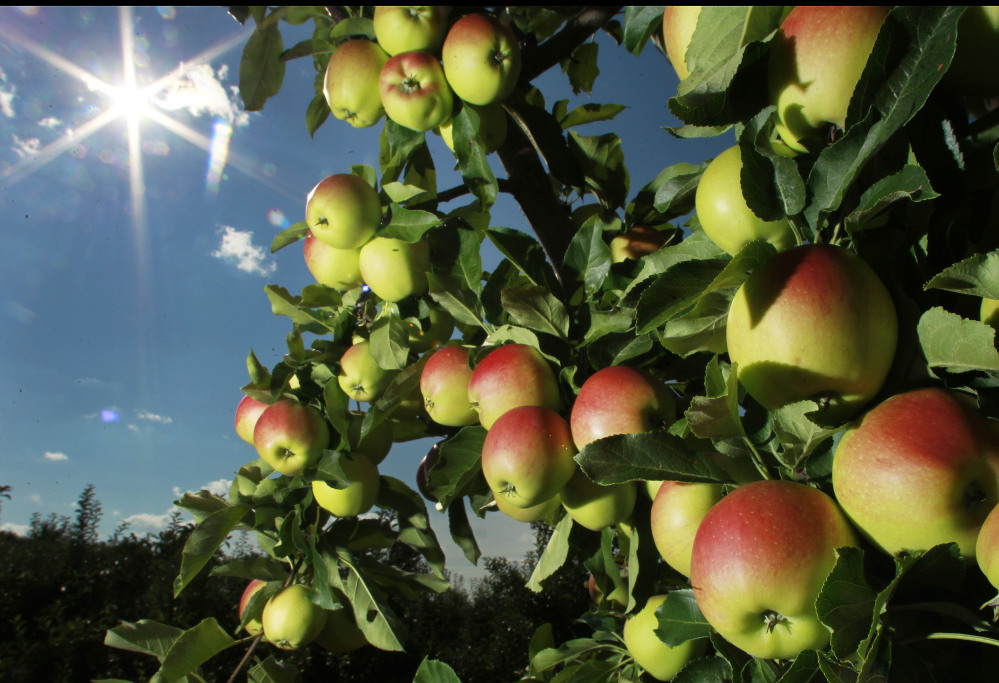 Apples begin to ripen at Carter Hill Orchard in Concord, N.H. Northern New England apple growers are expecting a decent crop but not as good as last year's bumper yield.