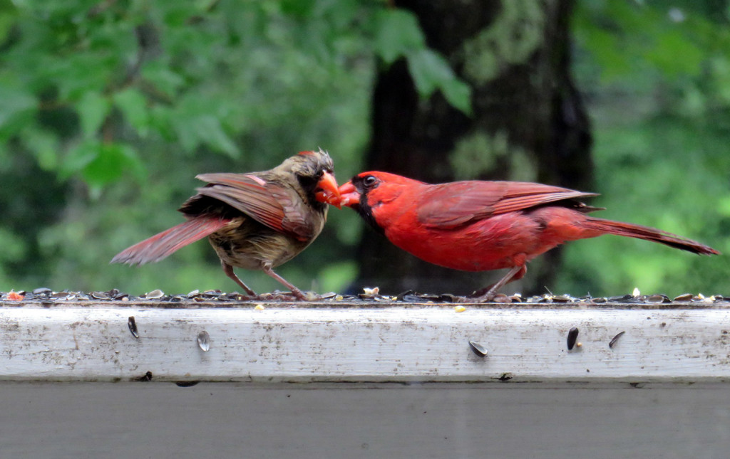 Two cardinals and one seed bring the two birds beak to beak on the railing at Cathy Wilkie Conley's house in Alfred. There have got to be more seeds.