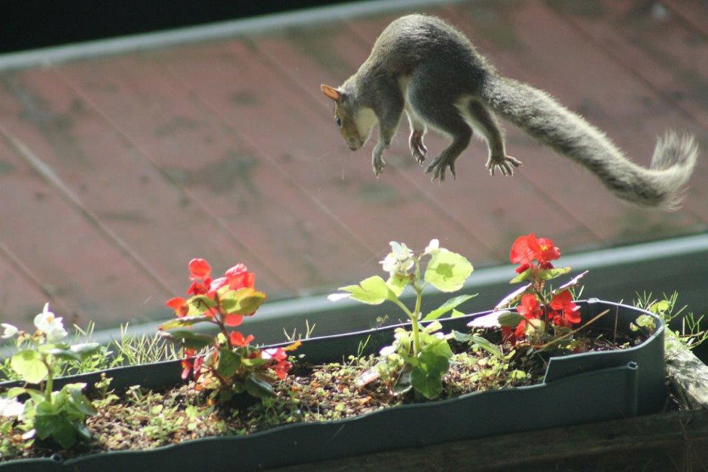 It's not really a flying squirrel, just an overly excited grey squirrel going airborne from the flower box at the Rome home of Shirley Blood, who says the critter panicked as a bird dive-bombed, possibly rendering it too scared to raid feeders.