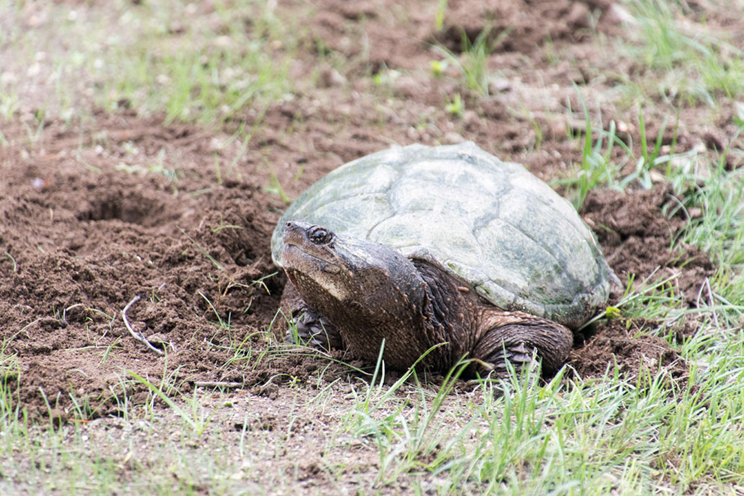 The snapping turtle at Woods Pond in Bridgton doesn't want George Kostovick of Harrison getting too close. And he won't if he values his fingertips.