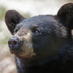 Complaints about black bears have increased about 50 percent over last year, to more than 600 statewide.