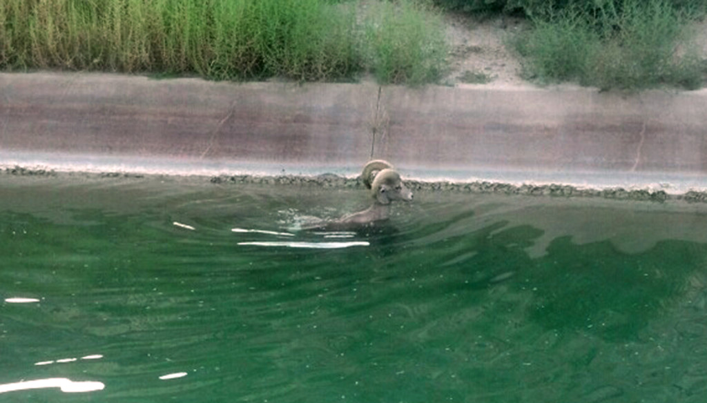 A peninsula bighorn sheep, an endangered species, swims in a canal near the PGA West Country Club in La Quiita, Calif. Animal Control Officer Kyle Stephens said used his control stick to loop one of the sheep's horns and pull it to safety. The Associated Press