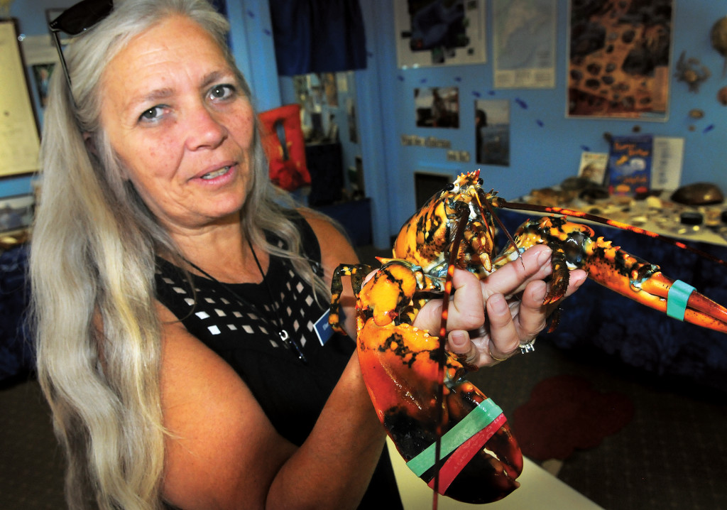 Ellen Goethel, a marine biologist and owner of Explore the Ocean World Oceanarium in Hampton, N.H., holds a calico lobster caught by Capt. Josiah Beringer. Experts say that one in every 30 to 50 million lobsters is a calico.