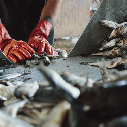Robert Handy sorts herring into buckets  at a Jonesport fishing wharf. Whitney Hayward/Staff Photographer