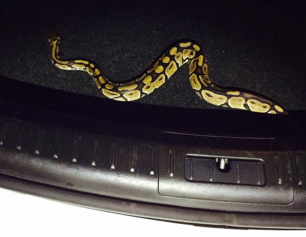 A non-poisonous ball python hitched a ride to Maine with two women who rented a car in Boston.