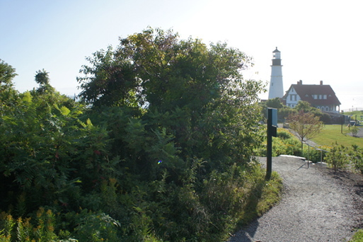 The Lighthouse View Garden at Fort Williams before volunteers removed invasive plants.  Tom Atwell photos
