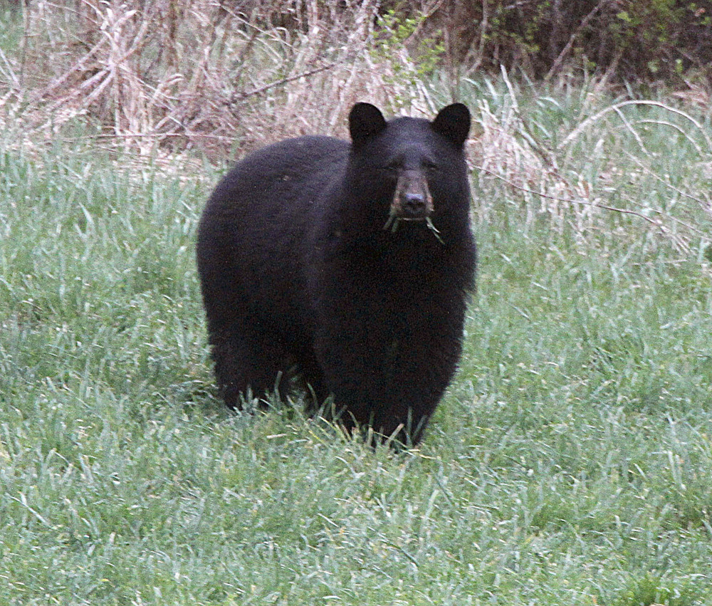 A referendum on the Nov. 4 ballot asks voters whether they want to ban certain bear-hunting practices, including the use of bait, traps and dogs to hunt black bear.