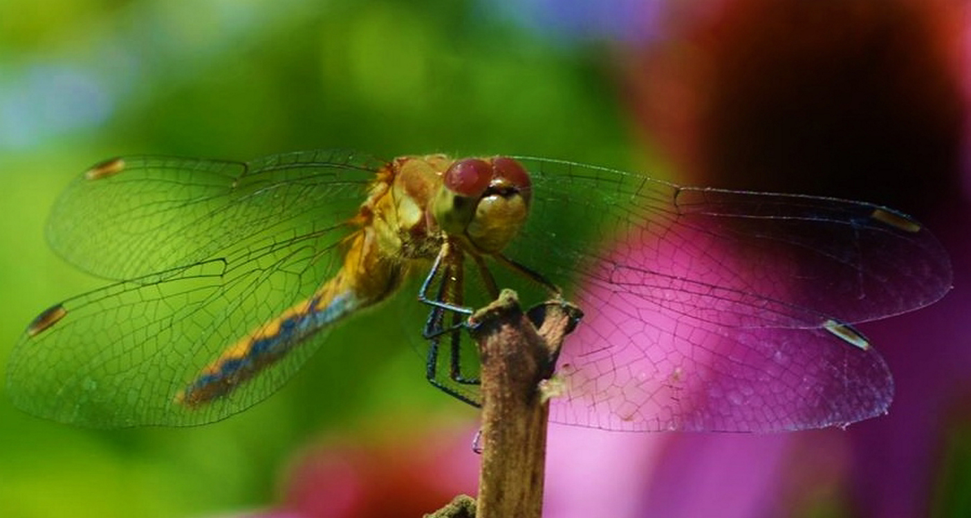 As long as this stately dragonfly keeps preying on mosquitoes and ants, it'll be most welcome in Kelly Mull's Scarborough yard.