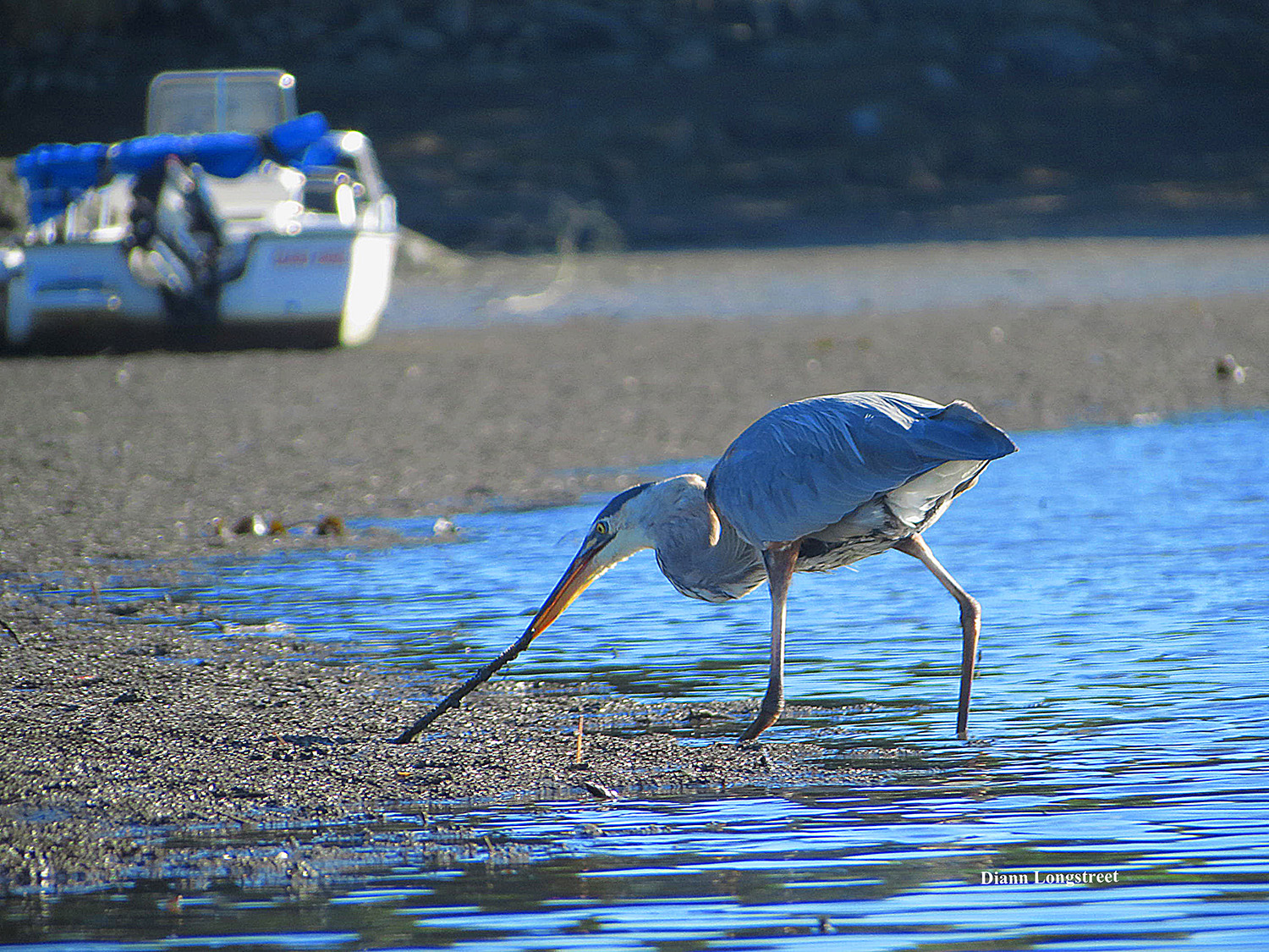 The second mouse might get the cheese but the early bird – in this case a blue heron – gets at least something that resembles a worm at Robinhood Cove, where Georgetown's Diann Longstreet observed from a kayak.