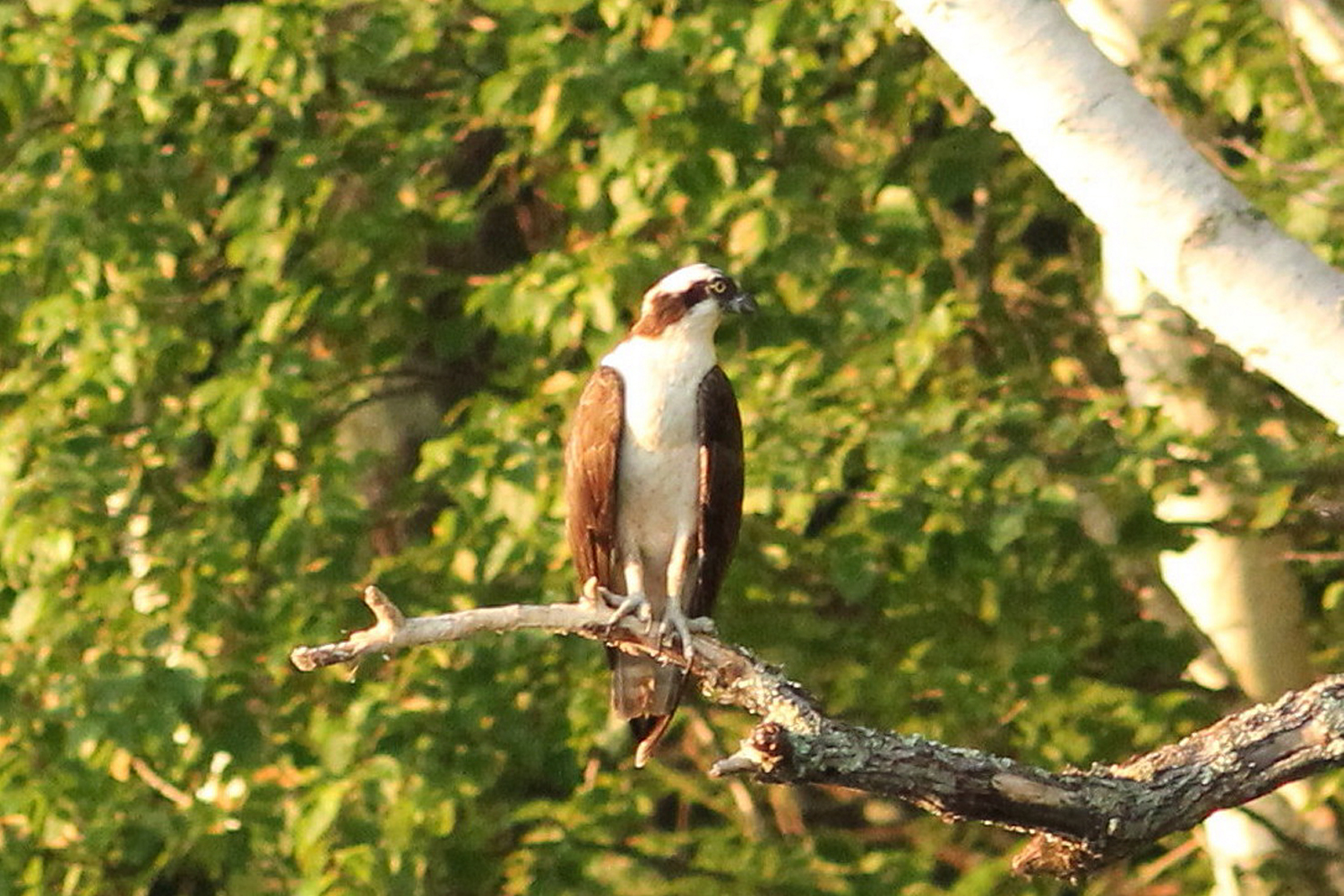 It's lonely at the top for an osprey at Messalonskee Lake where Scarborough's David and Linda Kirstein were admiring.