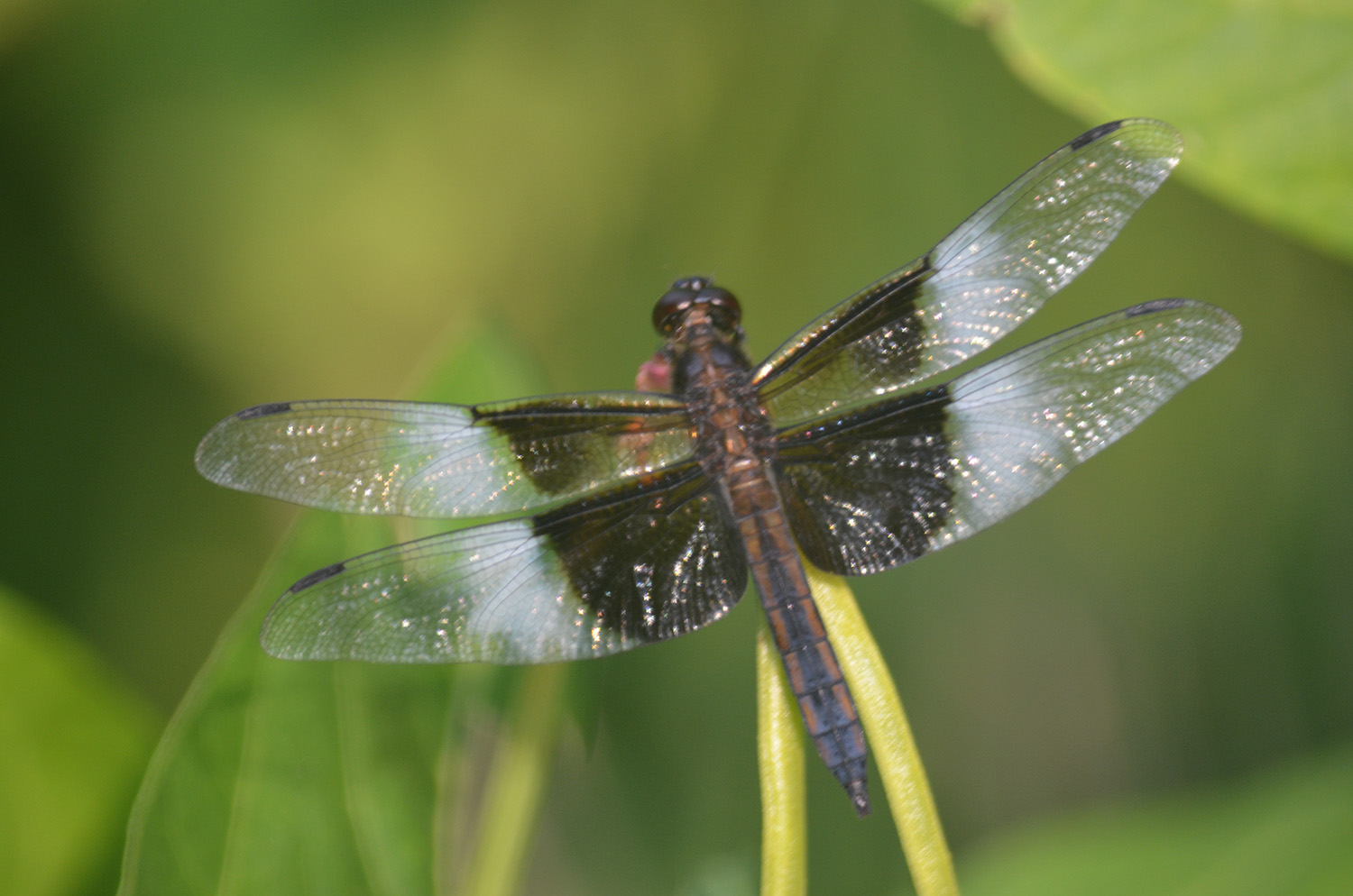The wax beans in Bob Demkowicz's Winthrop vegetable garden provide a convenient layover spot for a dragonfly in need of a short rest.