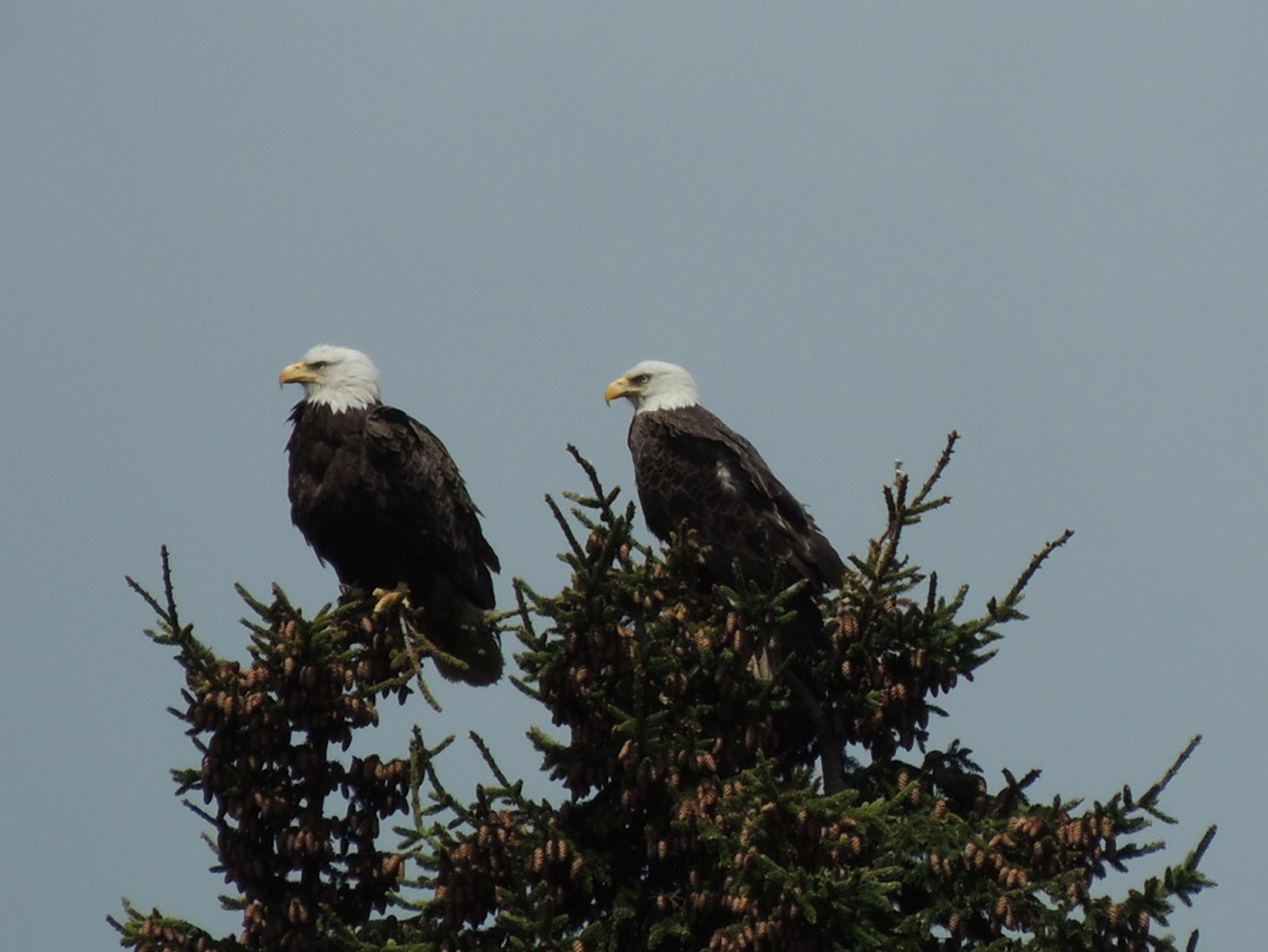 Standing watch over Casco Bay, a pair of bald eagles protect their two youngsters hidden in the nest, and peruse the area for anything small and edible while Nick Knight watched from below.