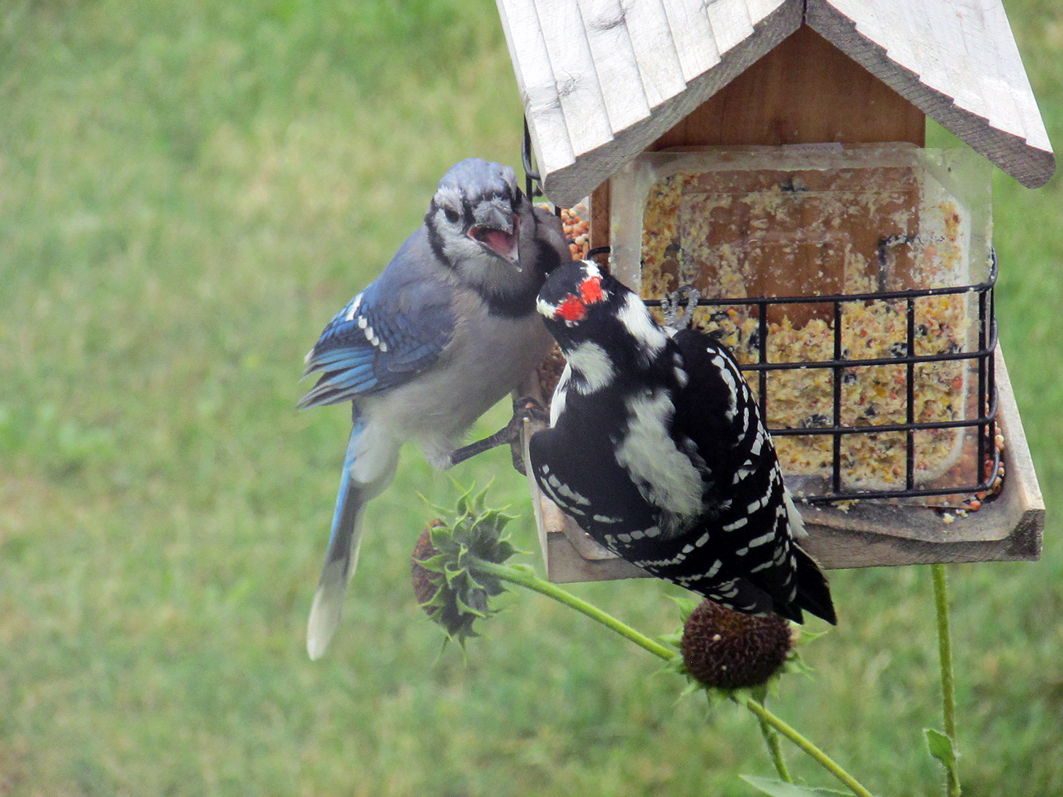 Angry birds, this blue jay and woodpecker, as they vie for feeder space in the Mapleton yard of Presque Isle's Marla Longley's parents. Well, that woodpecker should be pecking at trees, shouldn't it?