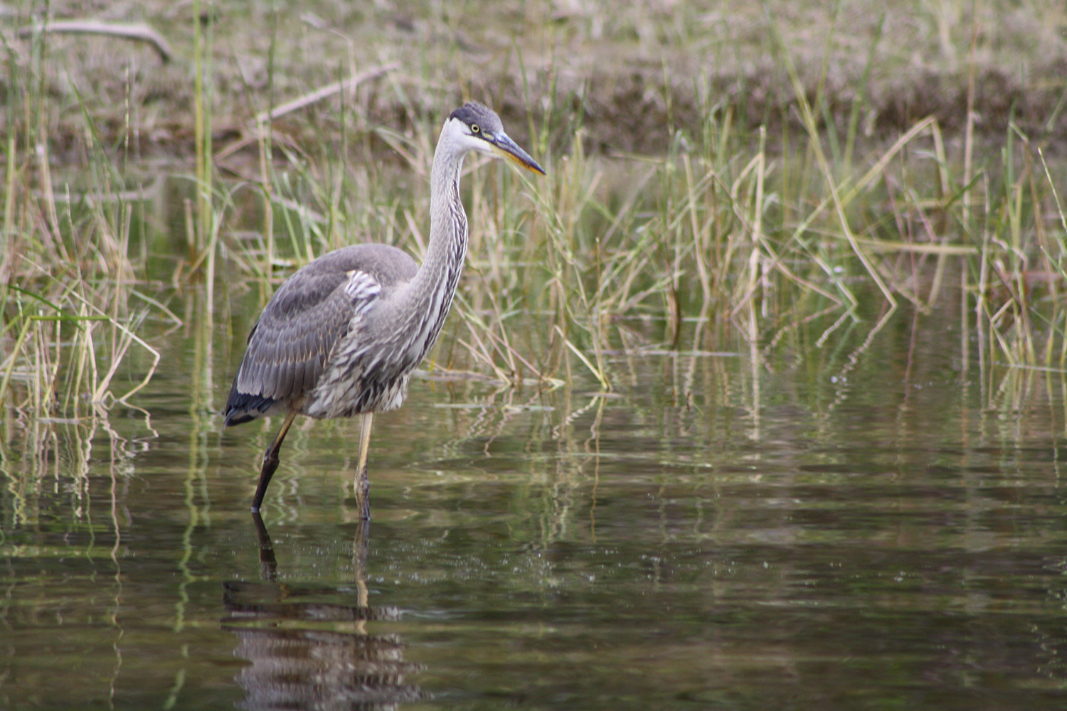 Like any good fisherman, the heron is quiet and still as it wades in the Songo River in Naples, where Raymond's Bruce Small observed from a boat.