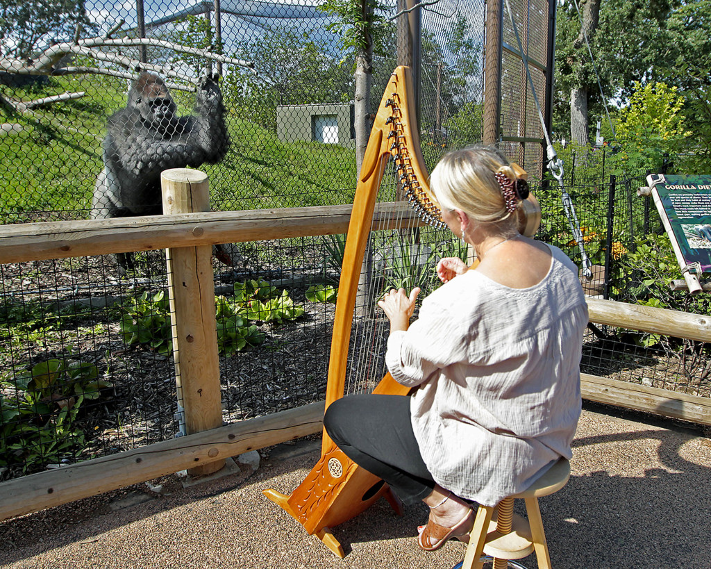 Terri Tacheny plays her harp as one of the gorillas stands nearby outside the Primate House at Como Zoo in in St. Paul, Minn. Tacheny, 57, a zoo volunteer, has playing for the animals once a month  for nearly a decade. The Associated Press