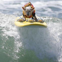 Surfer Dog Joey rides a wave on a board complete with a trio of sharks as decoration.