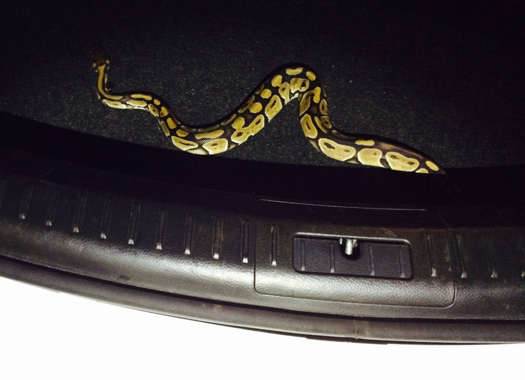 This ball python was found in the trunk of a rental car in Kennebunk. Kennebunk Police Department photo