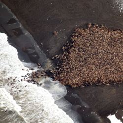 In the absence of summer sea ice, Pacific walrus are coming ashore in record numbers, according to the National Oceanic and Atmospheric Administration, which photographed the plight of the marine mammals last month on Alaska's northwest coast.