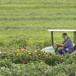 Dick Chase drives a tractor between rows of colorful flowers while scanning for Japanese beetles at the farm he owns with his son, Rick Chase, in Wells. The family owns and operates Chase Farms where they grow over 50 acres of vegetables, farm-raised beef and pork, as well as annuals and perennials that are all for sale at their farmstand.  Jill Brady/Staff Photographer