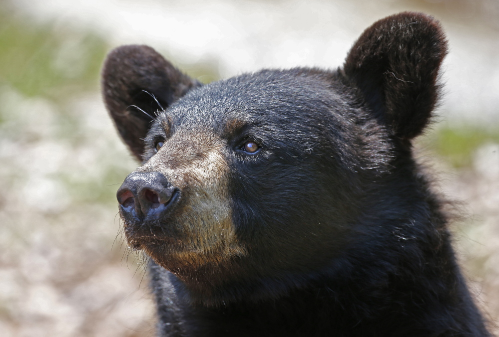 More than three-quarters of the 3,239 bears harvested in Maine last year were shot over bait.