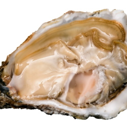 527063_606364-oyster2