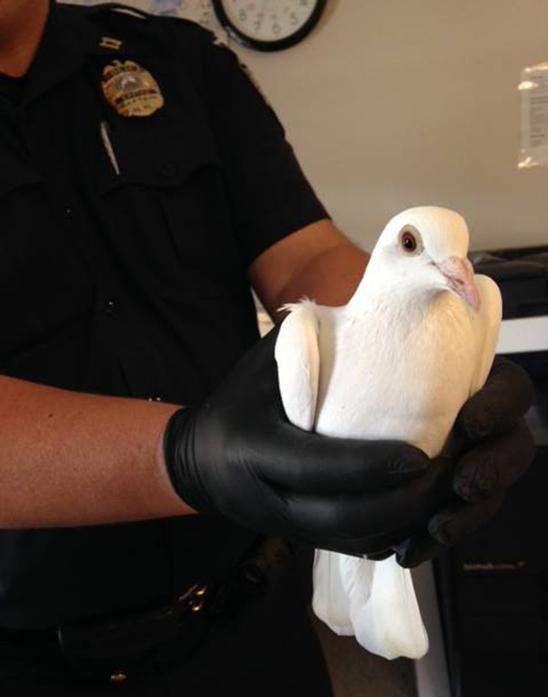 A police officer holds the wayward homing pigeon in this photo posted on the Epping Police Department's Facebook page.