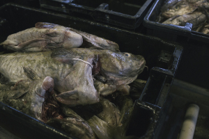 Codfish at the Portland Fish Exchange in November. Whitney Hayward/Staff Photographer
