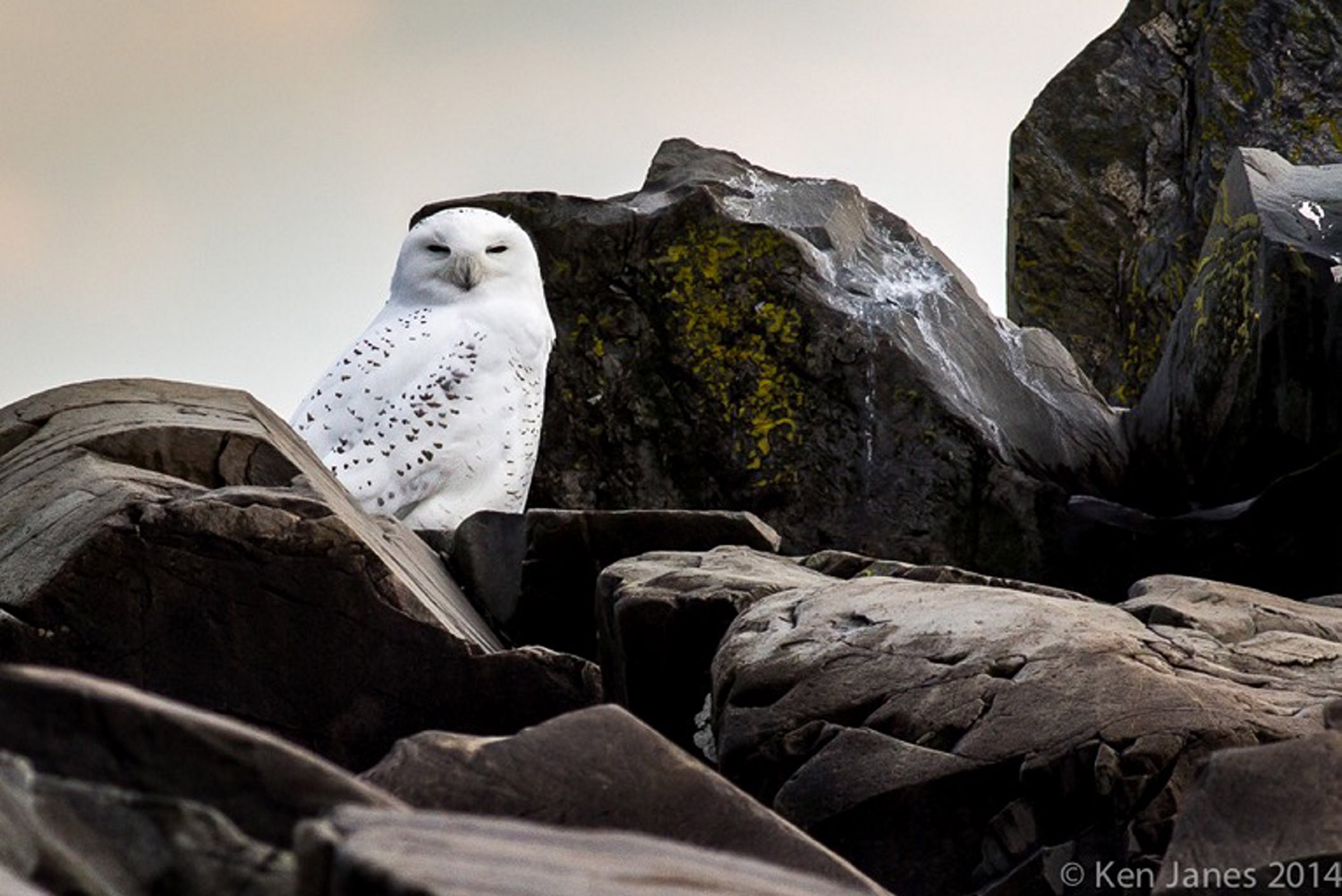 Dr. Ken Janes took this photo on November 20, early in the morning, on Strawberry Island, Kennebunk Beach.  He believes it is an adult Snowy Owl, the first seen this season.  Maybe it was escaping the snow in Buffalo?