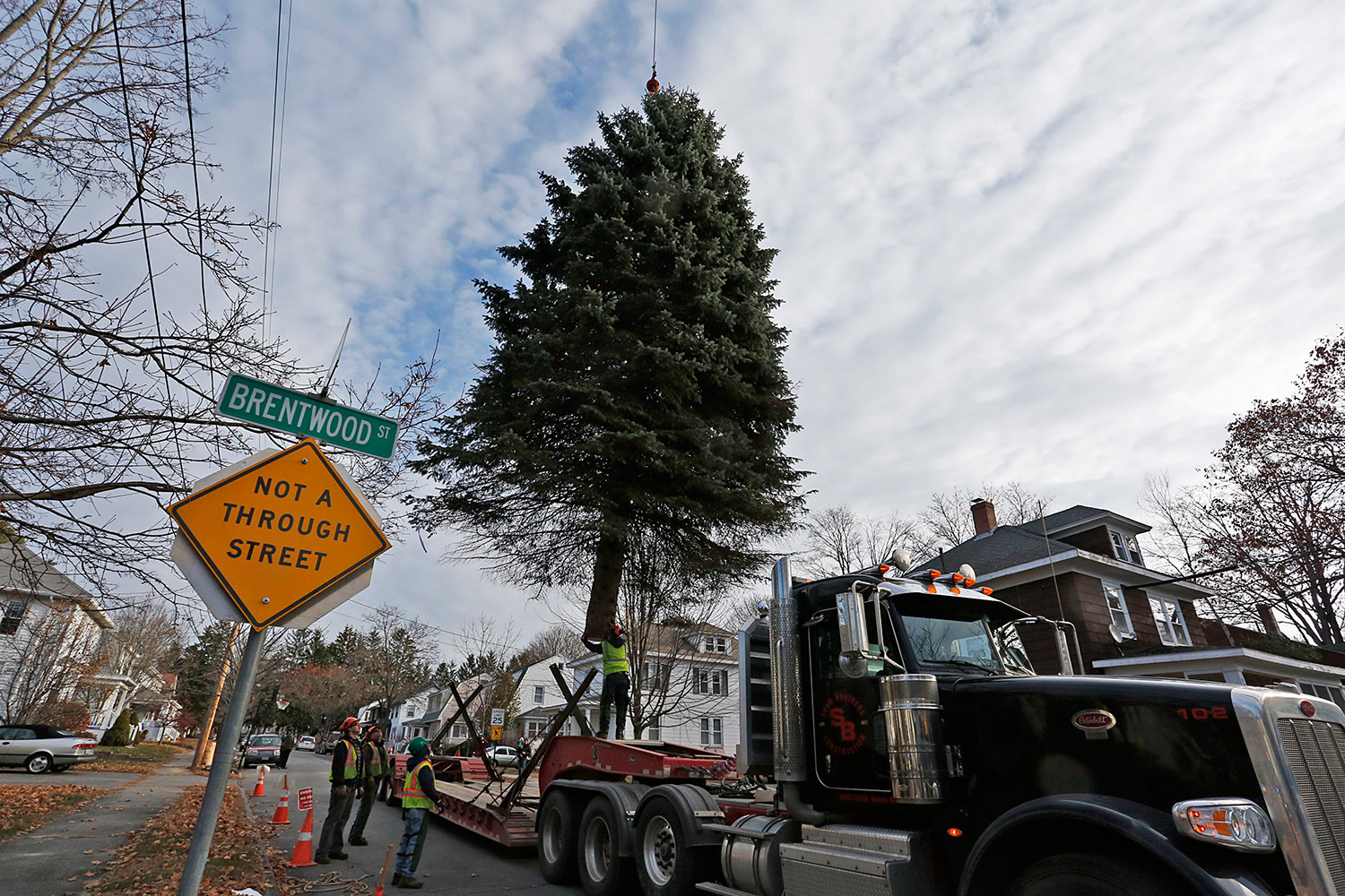 After 50 Years On Brentwood Street, Blue Spruce Stands Out