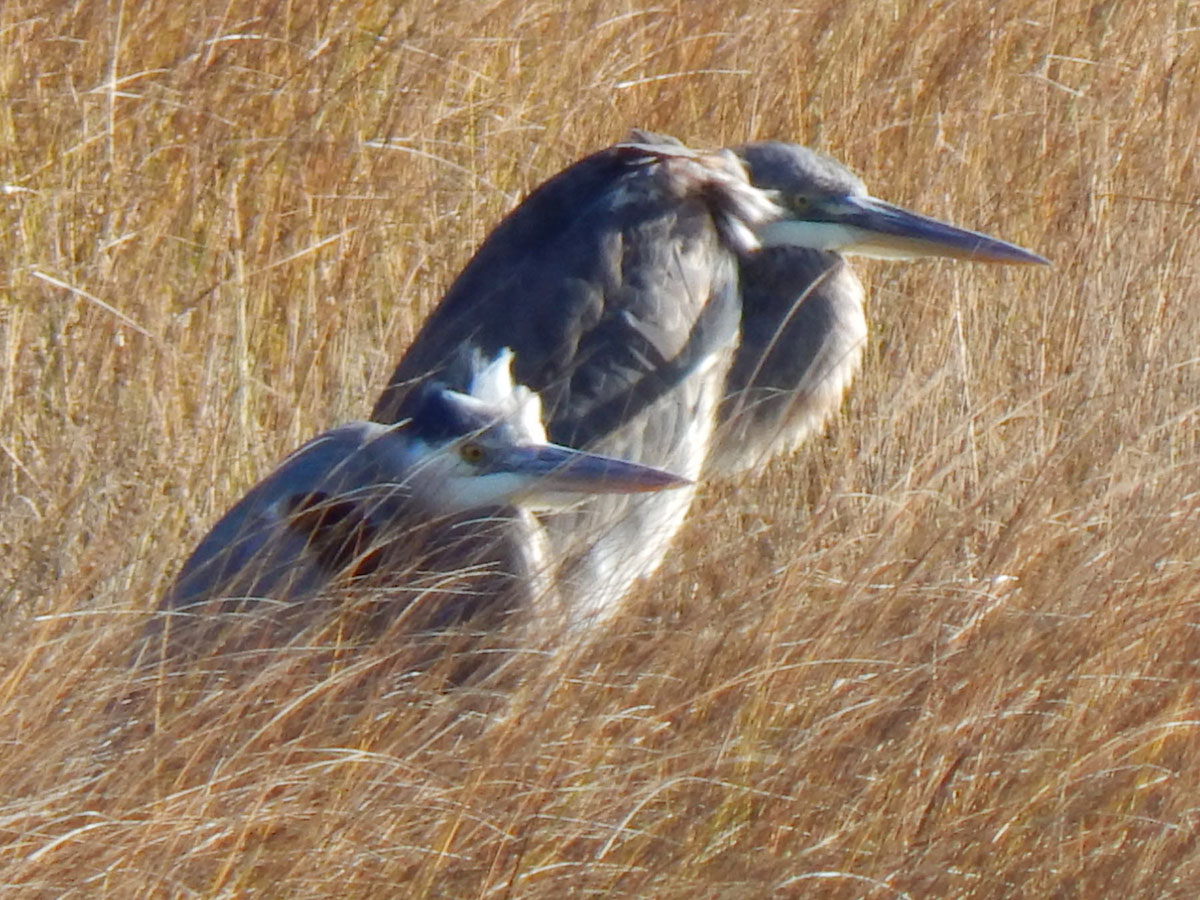 Eyes focused on something, these blue herons pore through the marshes of Parsons Beach, where Kennebunk's Kristen Holmberg's eyes – and camera – were on them.