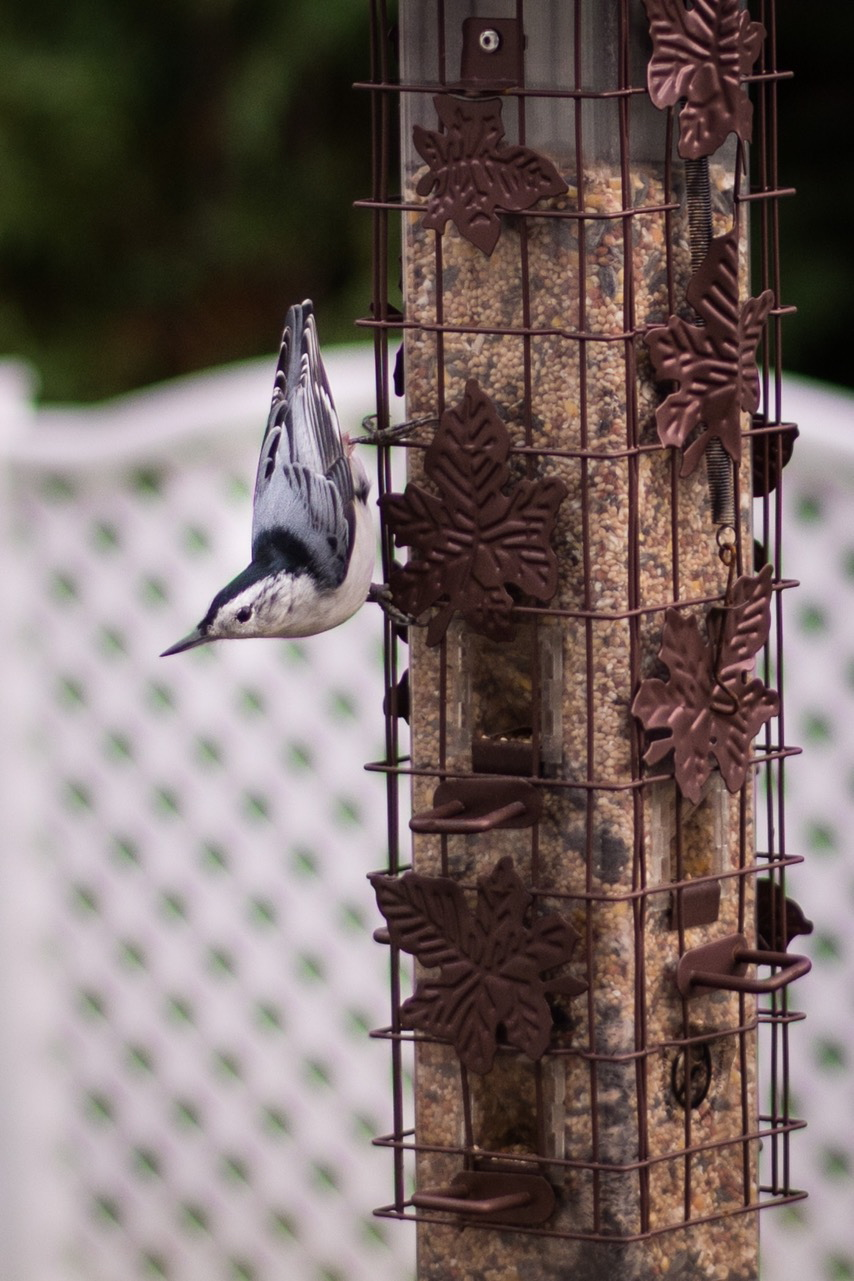 This white-breasted nuthatch was one of many birds that recently took advantage of the dining options at Richard Sawyer's house.