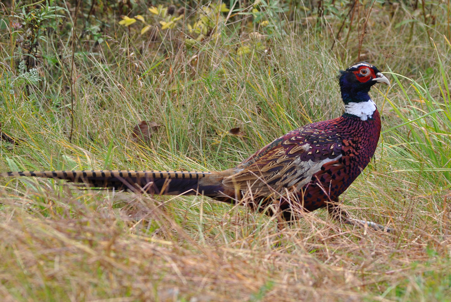 A common pheasant in name only, this handsome bird is a sight to behold or, even better, to photograph, which Gorham's Lori Rumery was fortunate enough to do as it ate seeds by the side of a road.