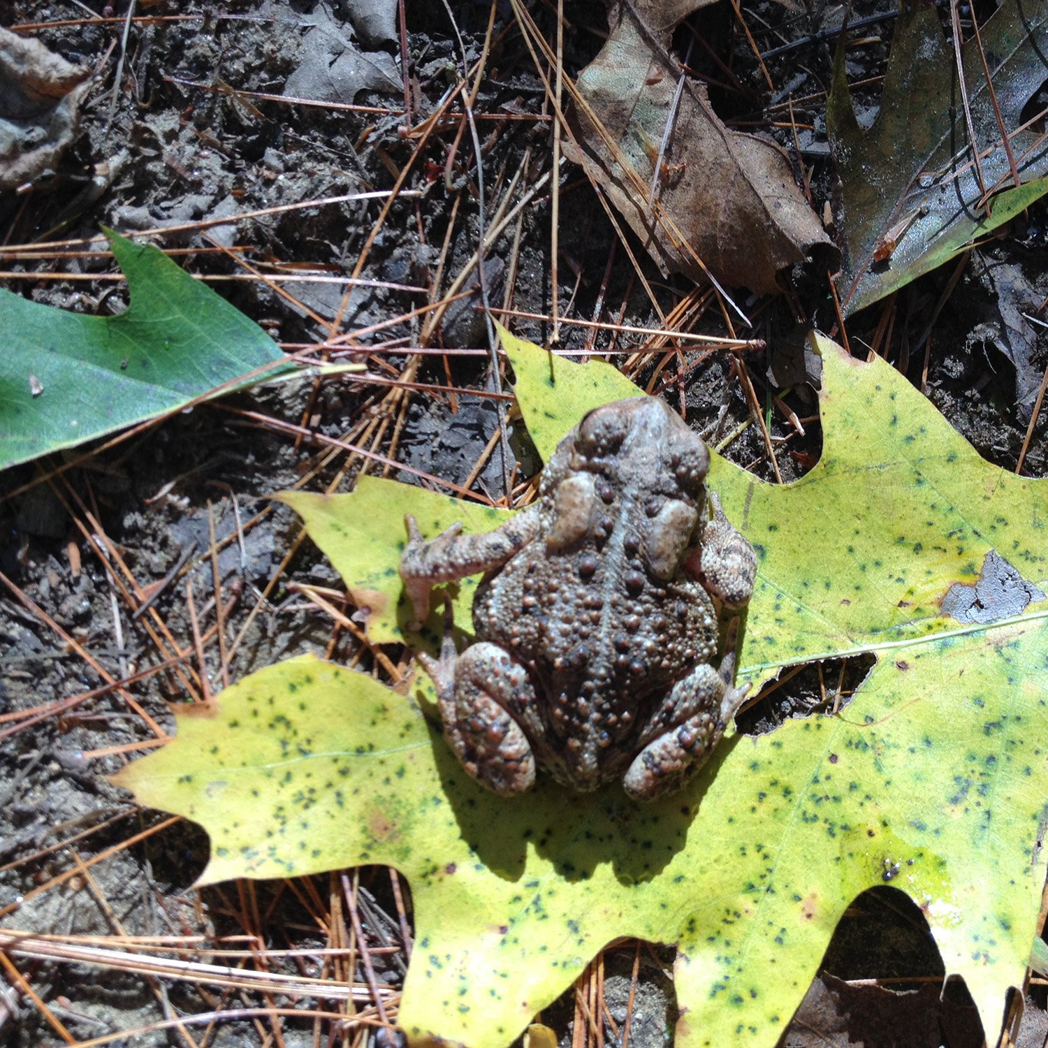 Had it not leaped onto a yellow leaf, this toad might never have reveaIed itself to Casco's Donna Morton as she hiked through Androscoggin Riverland State Park recently.