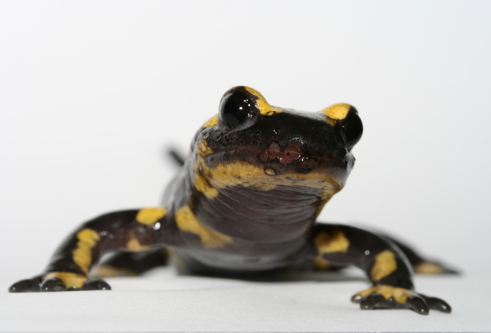 A fire salamander with B. salamandrivorans is already suffering from skin lesions in this photo taken in Belgium.