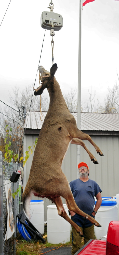Edward Ayotte looks up to read the scale as his deer gets weighed Saturday at Audette's Hardware in Winthrop. Ayotte's deer, which he took in Mount Vernon, weighed in at 124.8 pounds.