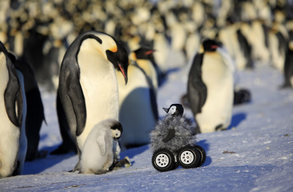 This remote-controlled motorized penguin chick equipped with a camera is seen at work in Adelie Land, Antarctica. The device – this is the fifth version – is so convincing that penguins don't scamper away and sometimes even sing to it.