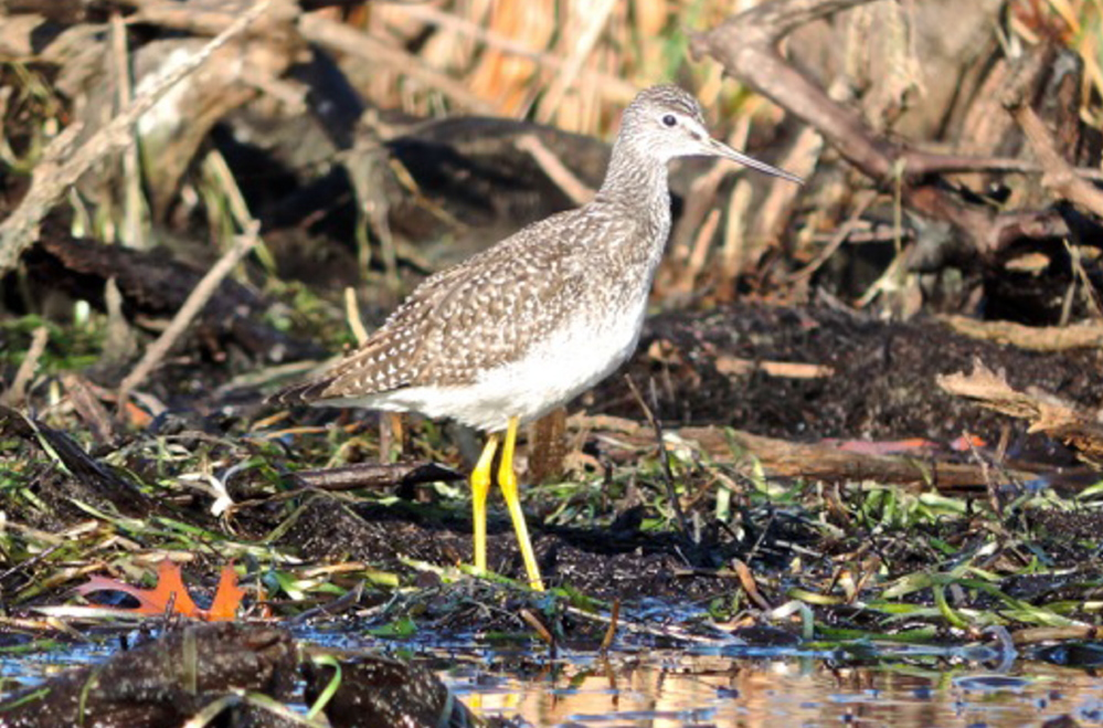 Greater yellowlegs are among the wildlife sightings on a sunny day during the fall canoeing season on Sabattus Pond.