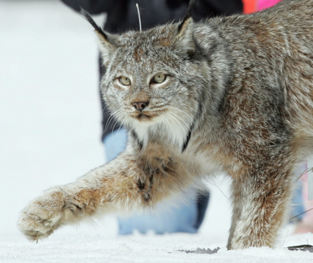 Maine is home to the East Coast's only sizable breeding population of Canada lynx, a threatened species.